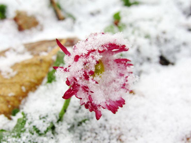 Маргаритки зимой
