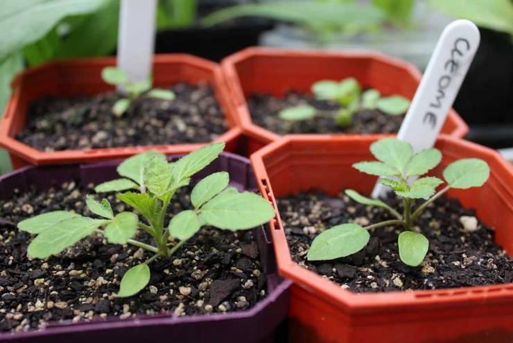 Выращивание клеомы из семян