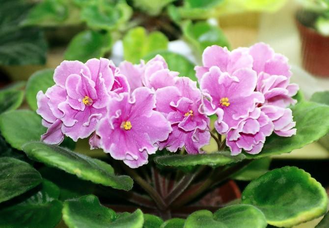 Какие виды узамбарской фиалки можно выращивать дома