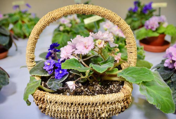 Цветки фиалки также можно разделить на следующие типы: обыкновенные, полумахровые и махровые.