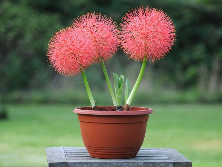 Гемантус (Haemanthus) – декоративное растение