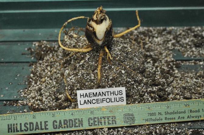 Растение размножается несколькими способами – семенами, листовыми черенками и дочерними луковицами