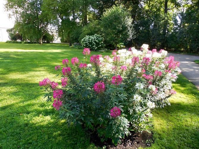 это однолетнее растение и для будущего сезона осенью можно собрать очень много семян