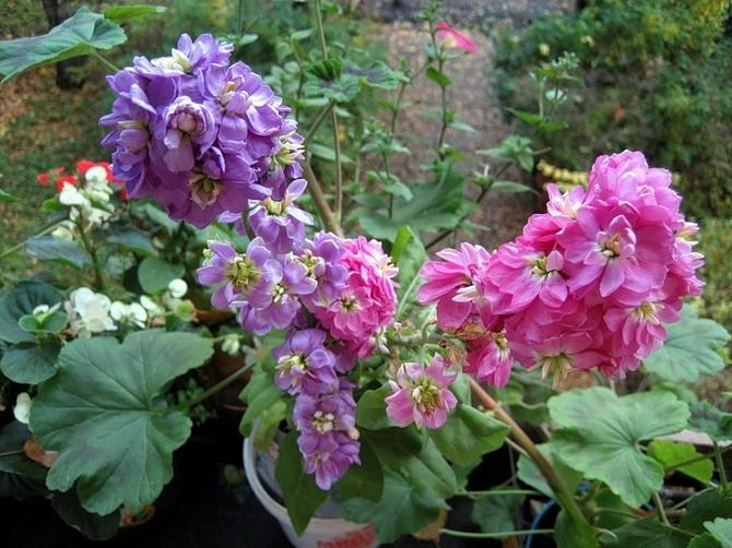 Ухаживаем за цветами левкой маттиола