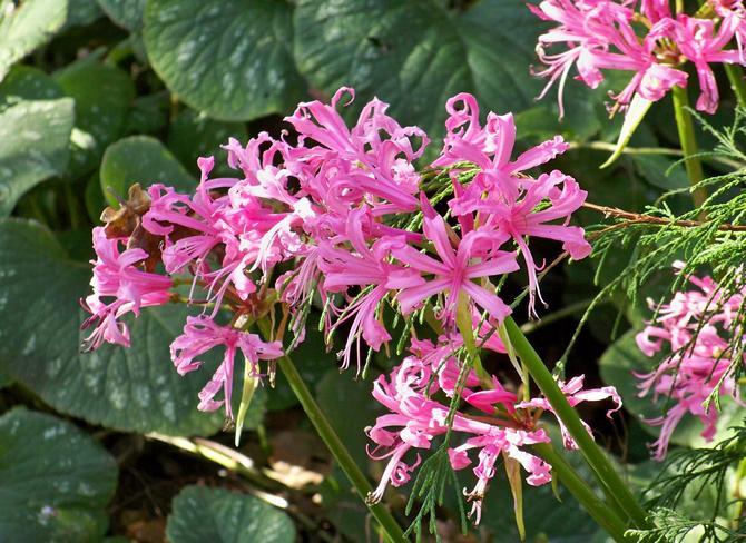 Как правильно ухаживать за цветущей лилией нерине