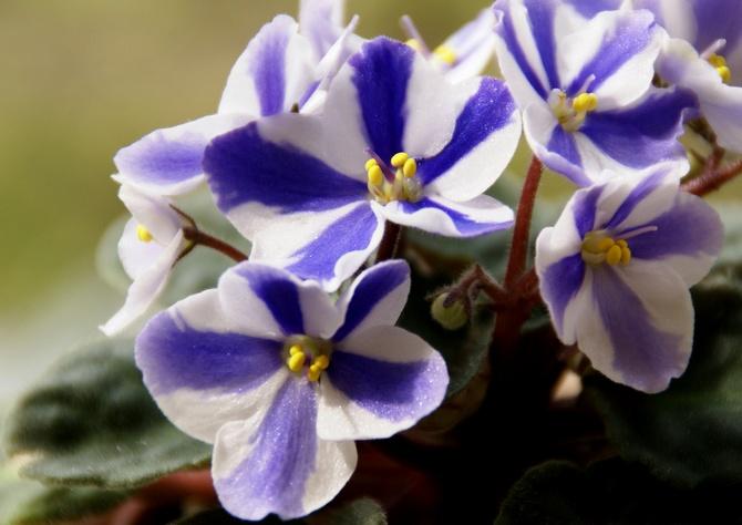 Фиалка-химера имеет цветы с четко выраженной полосой по центру лепестка