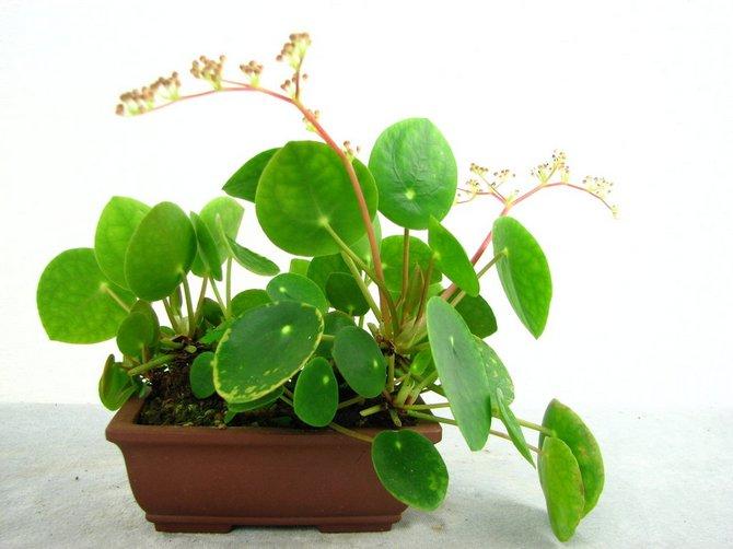 Несоблюдение температурного режима приводит к сморщиванию и засыханию листьев