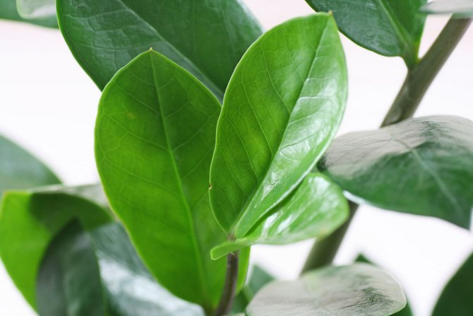 замиокулькас еще имеет второе название – «долларовое дерево»
