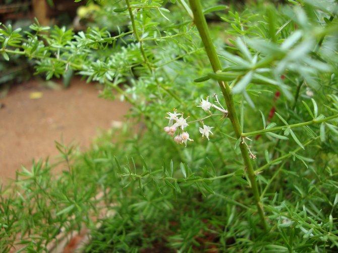 При должном нехитром уходе аспарагус редко страдает различными болезнями растений