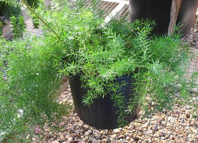 аспарагус хорошо растет при повышенной влажности