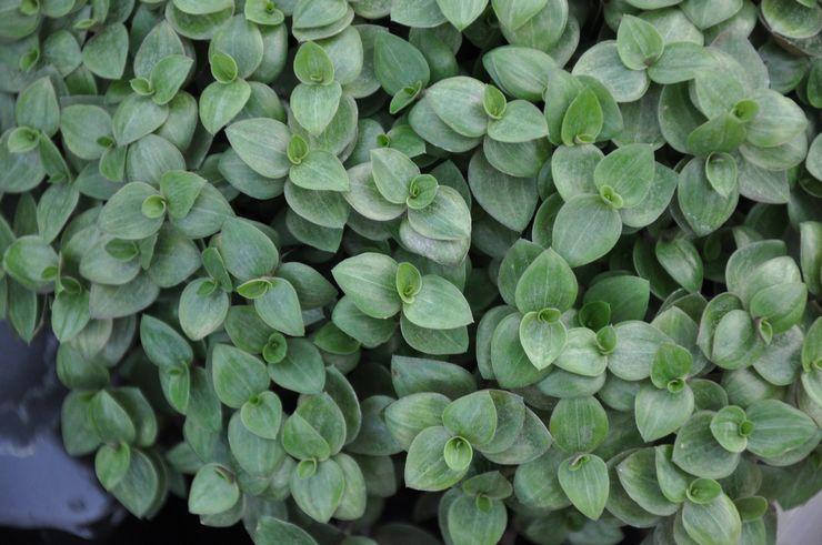 Растение каллизия