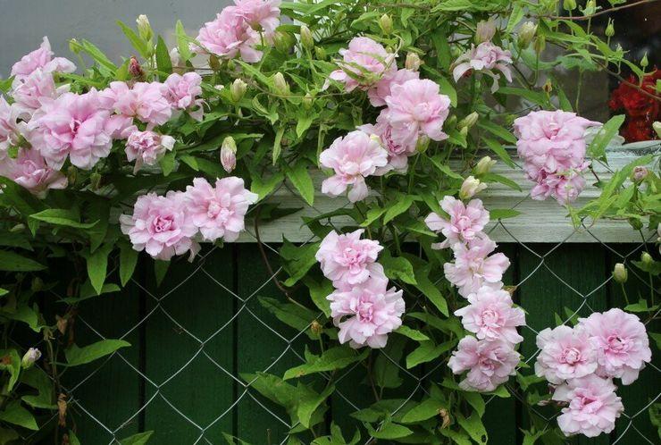 Растение калистегия махровая