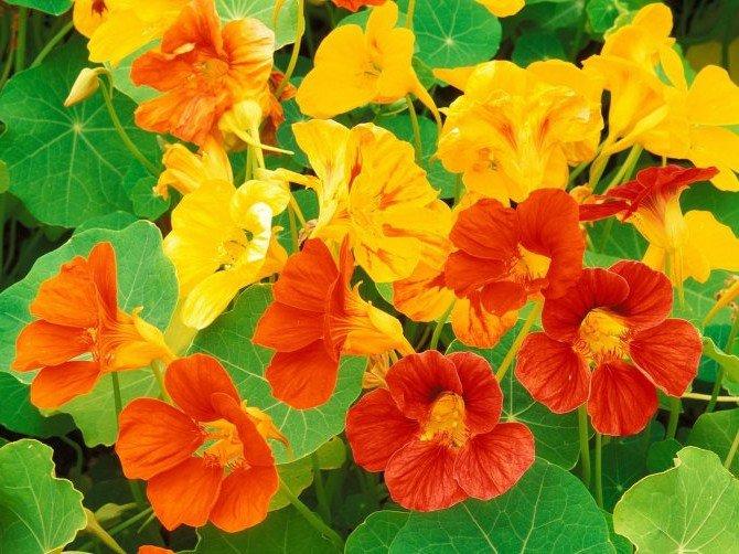 Красивые однолетние и многолетние цветы в саду