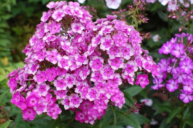 Флоксы. Выращивание цветов флоксов в саду