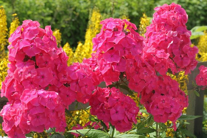Советы и рекомендации по выращиванию цветов флоксов в саду