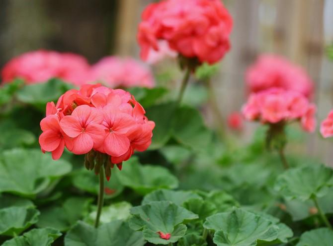 Высаживать стоит весной между ягодными и плодовыми культурами, тем самым запах герани отпугнет многих вредителей