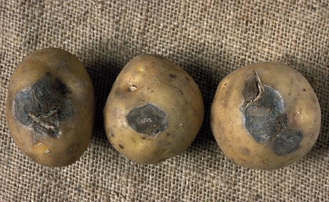 Гниль – это основная проблема, которая ведёт к уничтожению картофеля