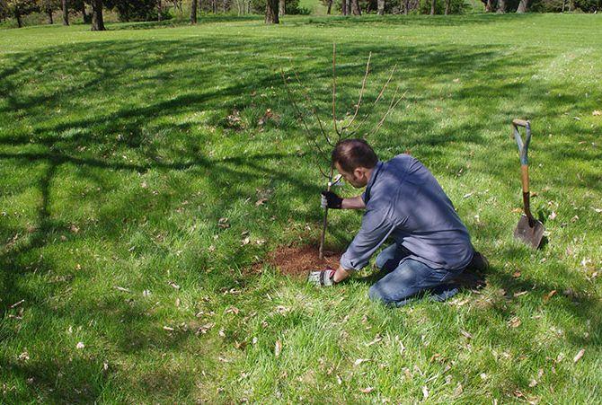 Проверенный способ посадки груши