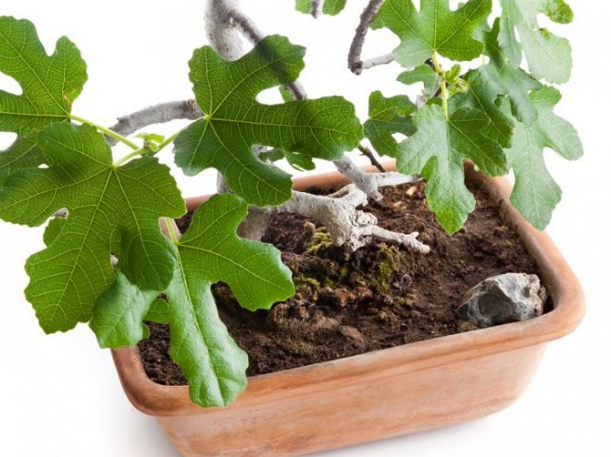 Как выращивать инжир – фиговое дерево