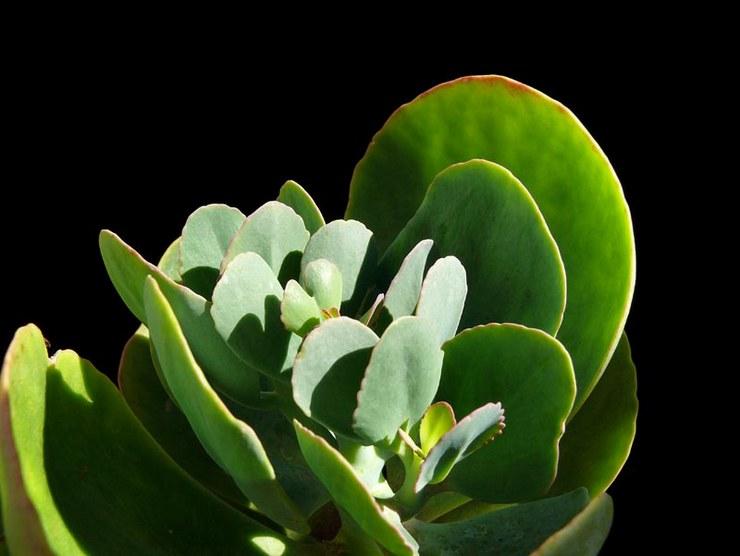 Каланхоэ крупноцветковое