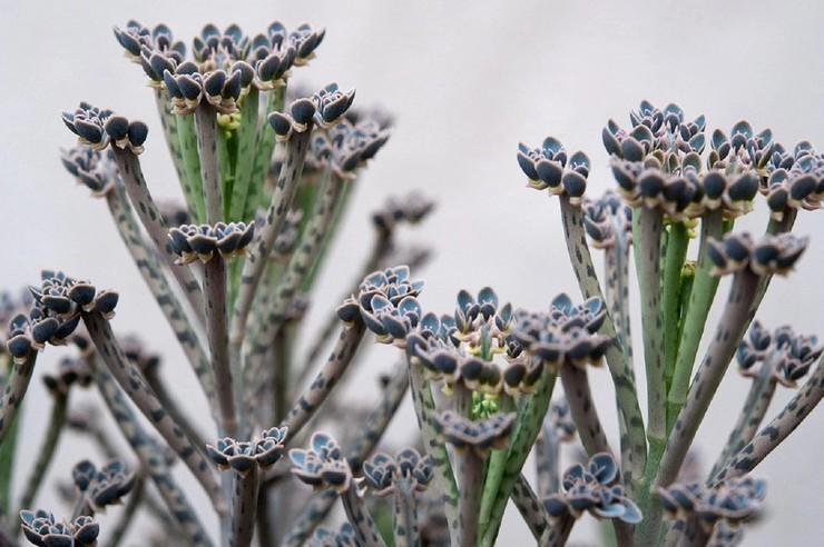 Каланхоэ трубчатоцветковое