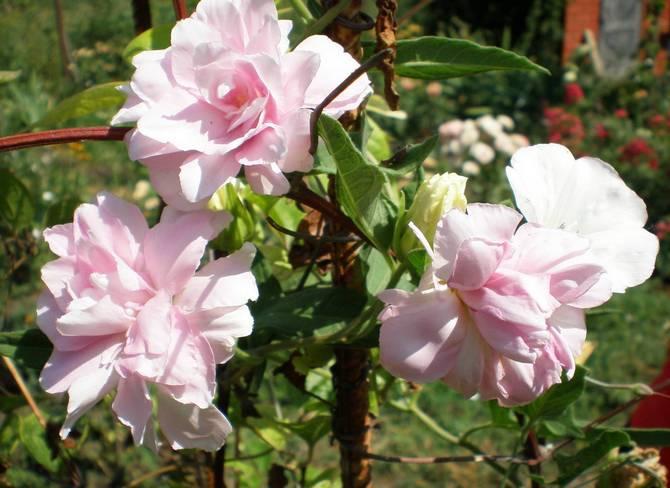Как правильно выращивать калистегию в саду на даче