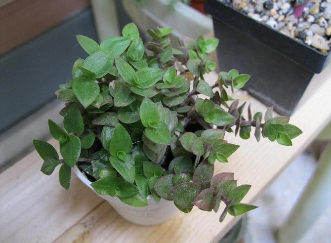 Каллизия, имея пеструю окраску листьев, как и все подобные растения