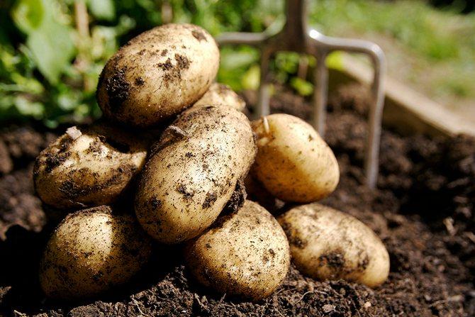 Как выбрать наилучший сорт картофеля для выращивания на даче и участке