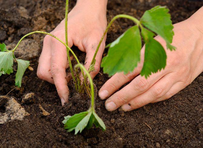 кустик клубники или земляники ставят на подготовленную горку грунта, расправляют корни и осторожно присыпают землей
