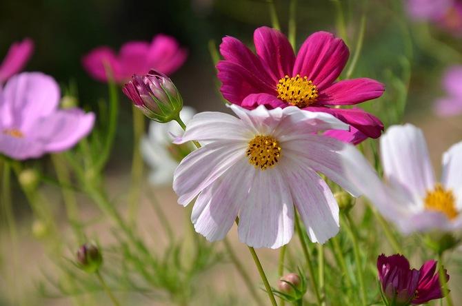 Космея. Выращивание и уход за садовым цветком