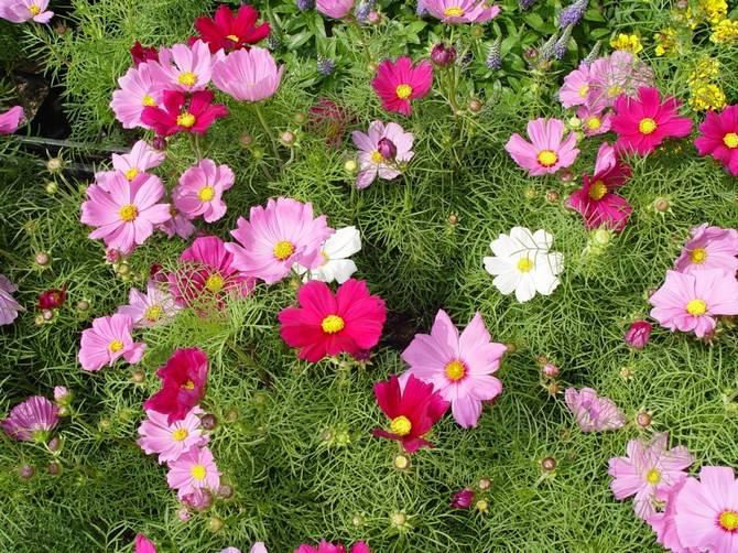 Как правильно посадить и вырастить космею в саду