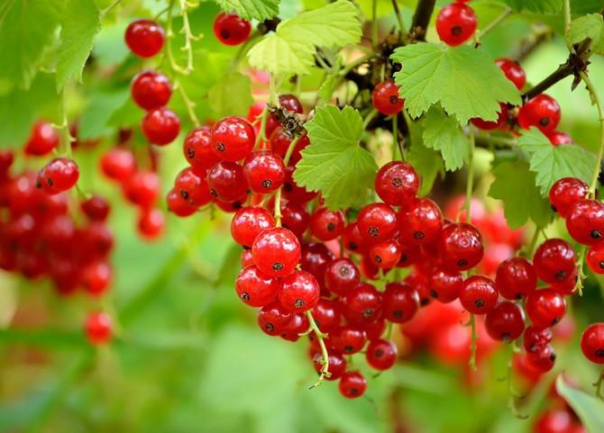 Методы увеличения урожайности смородины без химикатов и удобрений