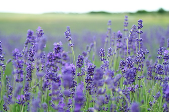 Для сохранности изделий из шерсти и меха от моли, разложите в шкафу сушеные стебли или цветы лаванды