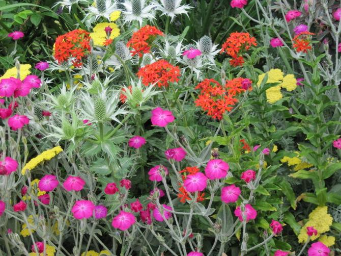 Лихнис выращивание и уход