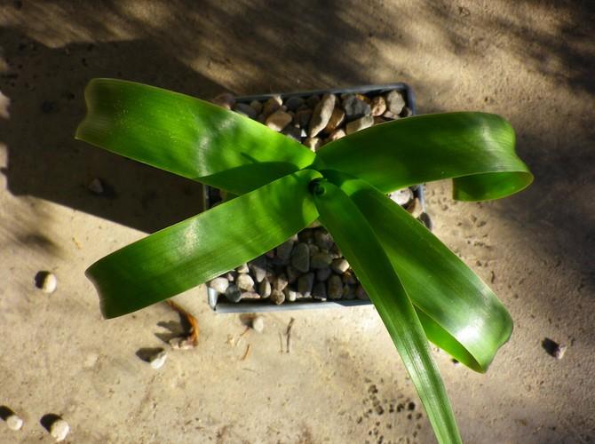 Для лечения используют только свежевыжатый сок из старых листьев