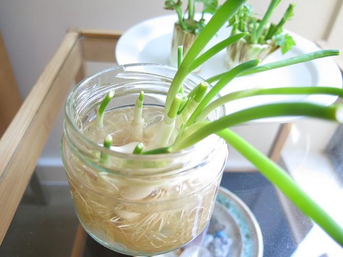 Выращивание зеленого лука в воде: правила, советы и рекомендации
