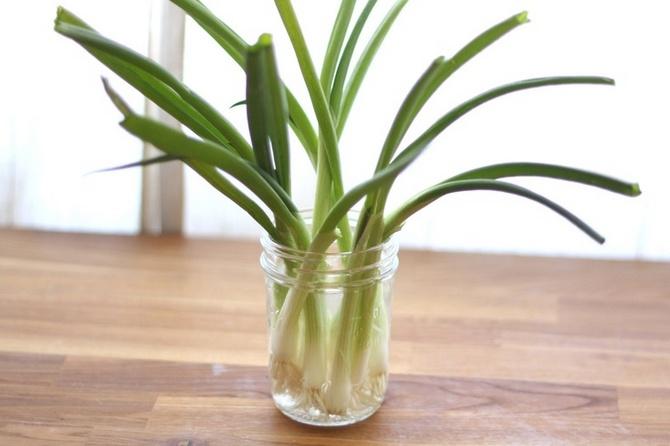 Выращивание зеленого лука в воде. Как вырастить лук на подоконнике