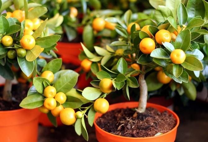 Какие плодовые растения можно выращивать в домашних условиях