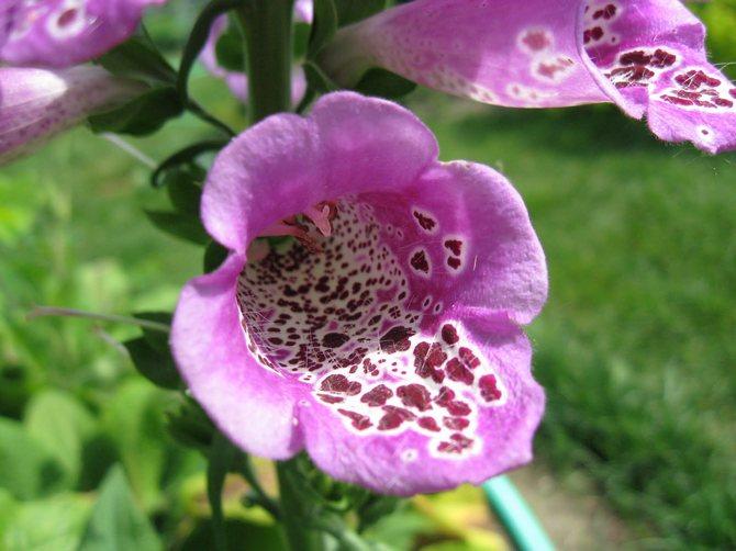 крупные цветы выгодно декорируют сад, а также являются прекрасными медоносами и служат сырьем в фармацевтике