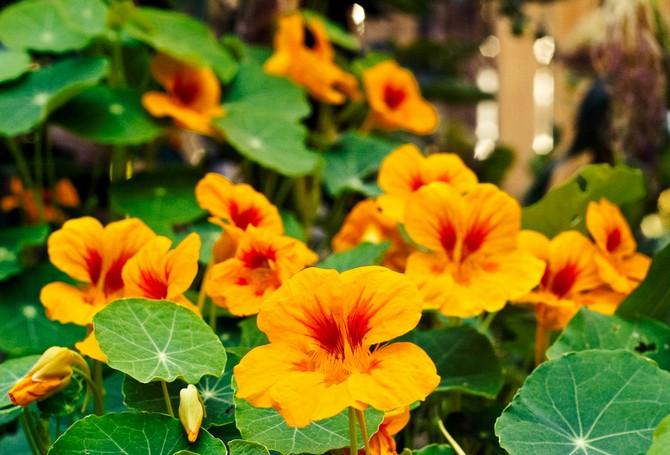 Цветы настурции имеют не только приятный аромат, но и борются с уменьшением огородных вредителей