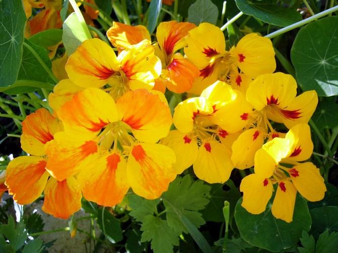 Настурция. Цветы в саду. Выращивание и уход