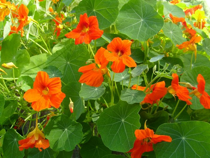 Советы и рекомендации как правильно посадить садовые цветы настурция
