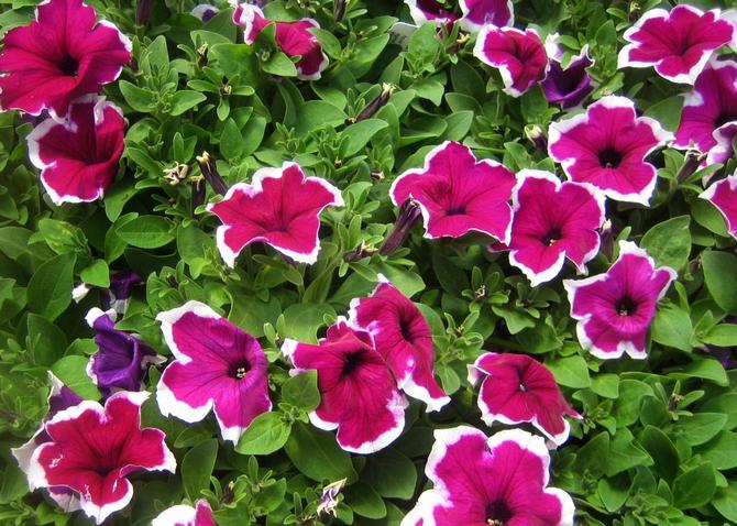 Отлично отпугивает садовых вредителей, предотвращая возникновение болезней у растений группы бобовых
