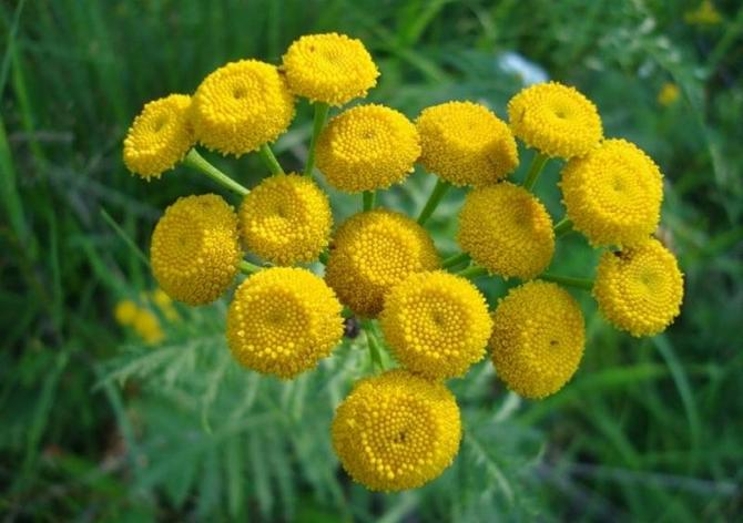 На пижму почти не садятся насекомые, комары и мухи облетают её стороной из-за содержащихся в цветках эфирных масел