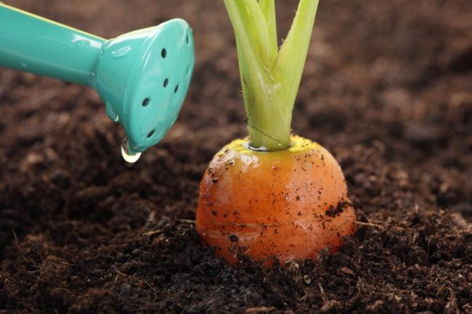 Полив моркови (свеклы, редиса, корневого сельдерея, дайкона)