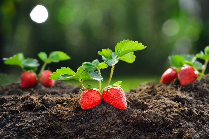 пересаживать рассаду клубники можно и весной и осенью