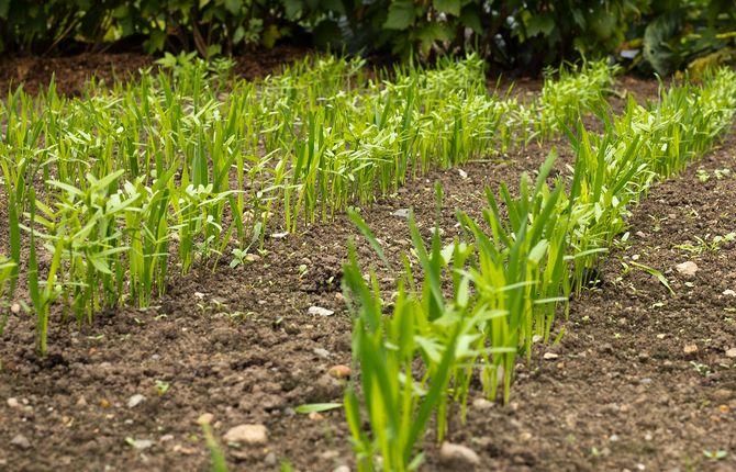 Сидераты обеспечат нормальный рост и урожай овощным культурам
