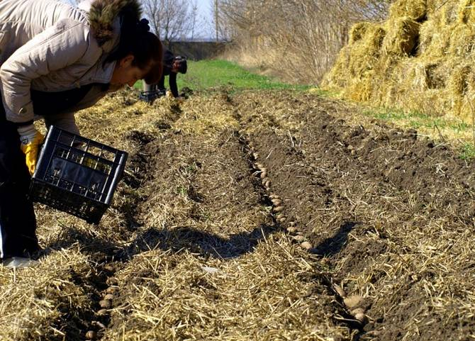 Агротехника выращивания картофеля под соломой