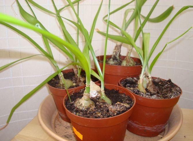 Выращивание и уход в домашних условиях
