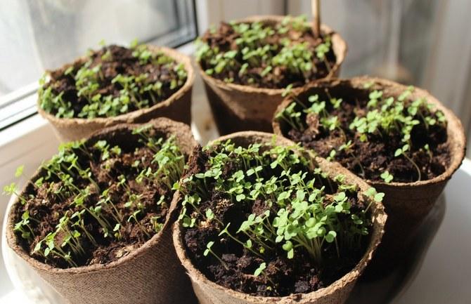 Противопоказано располагать горшочки с недавно проклюнувшимися ростками на холодном подоконнике